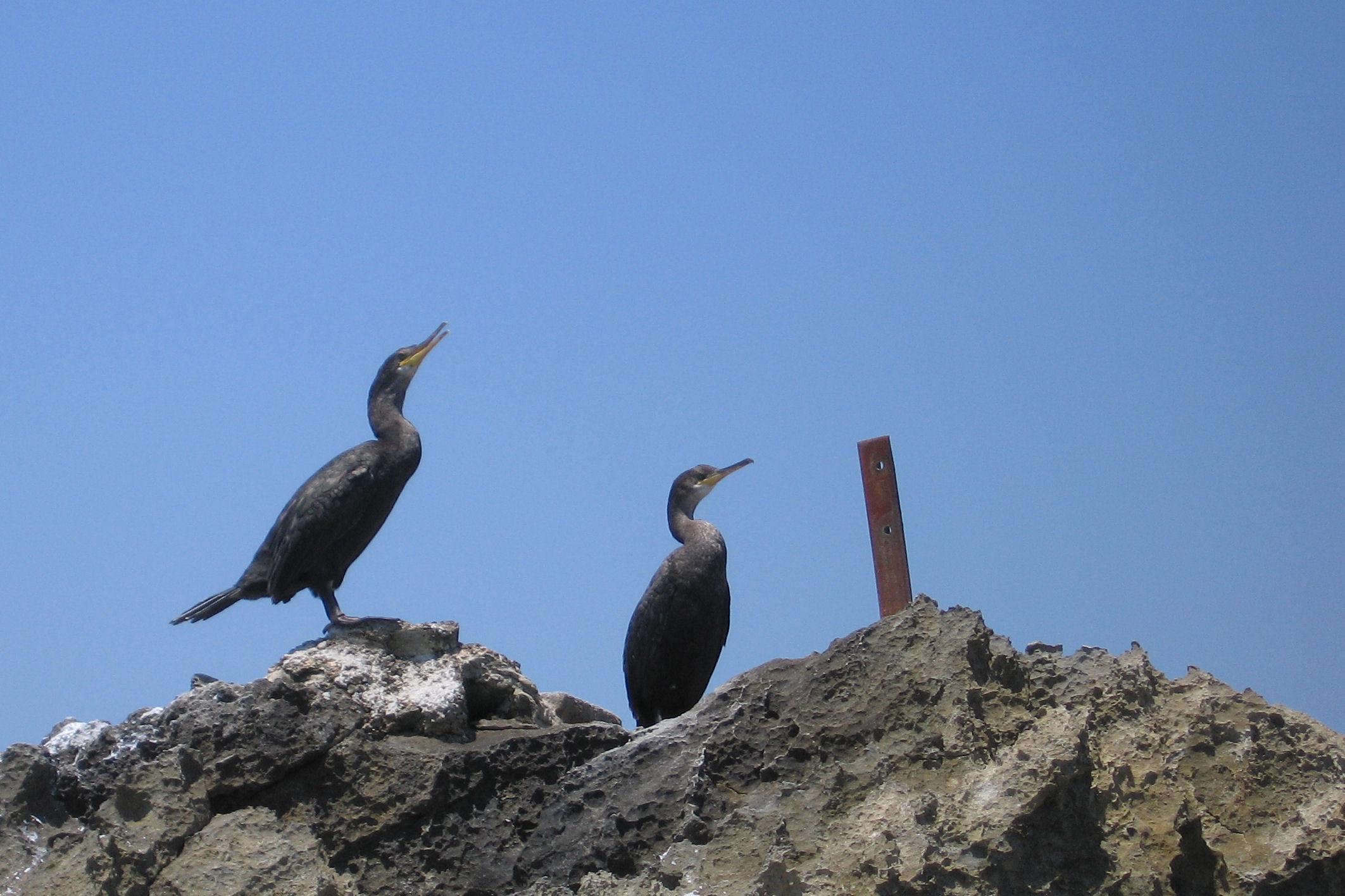 Foto playa Ses Salines. Cormoranes