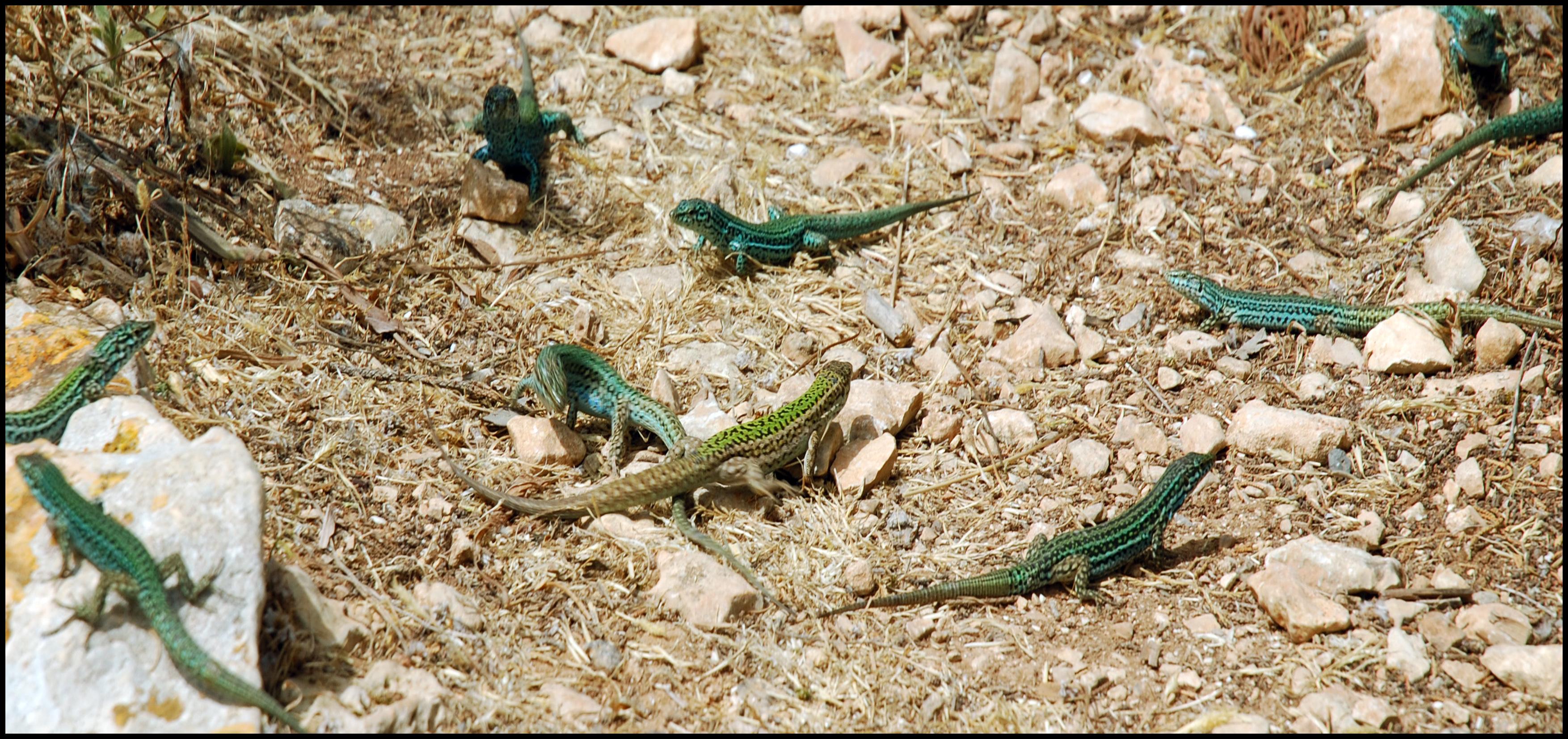 Foto playa Cala Codolá. Jauría de lagartos