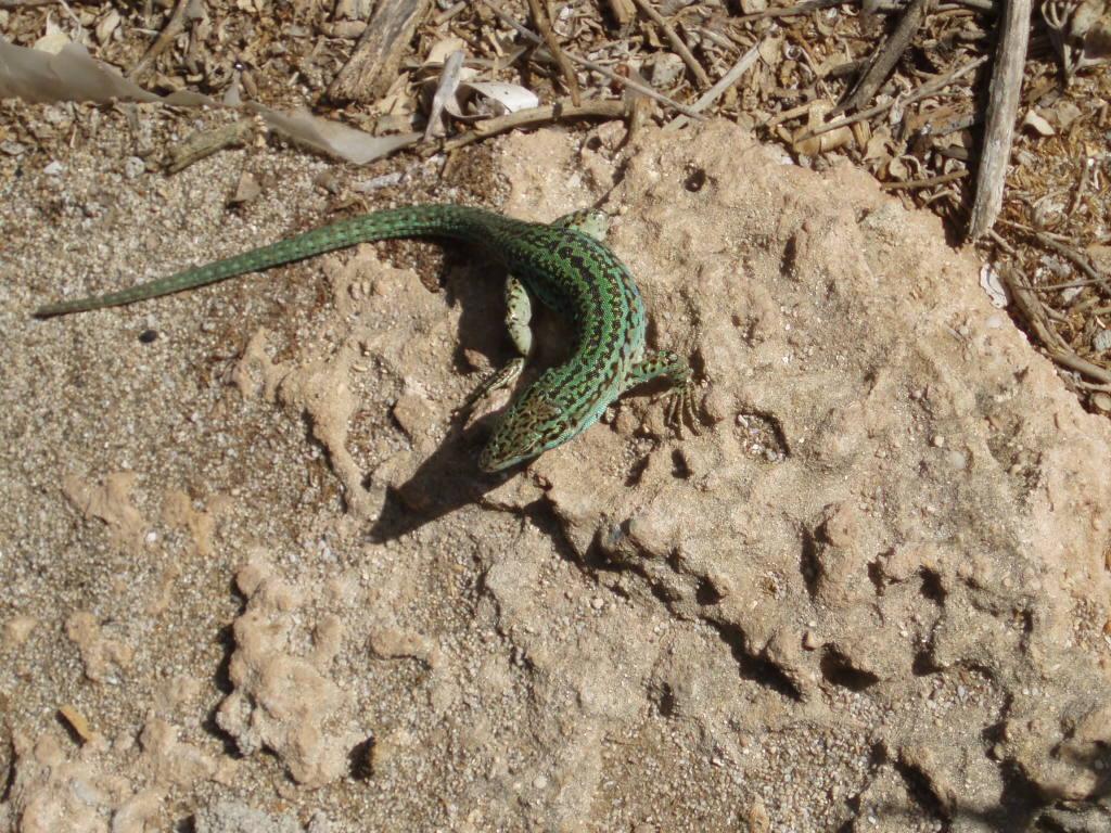 Foto playa Es Migjorn. Tipica lagartija autóctona de Formentera