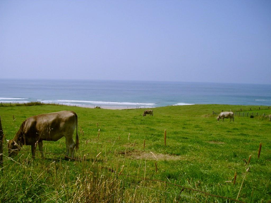 Foto playa Aitzuri. mucche al mare