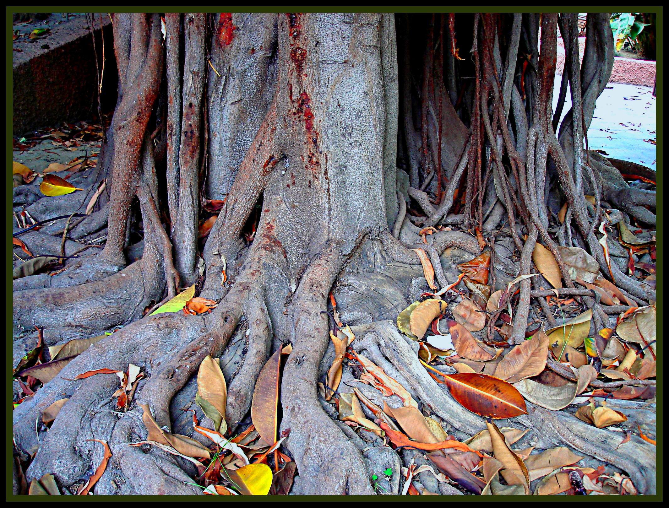 Foto playa Puerta del Mar / Fuentepiedra. El árbol (ficus)