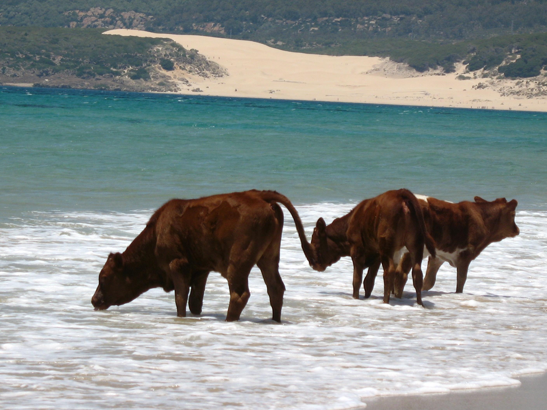 Foto playa Bolonia. Sea cows!!