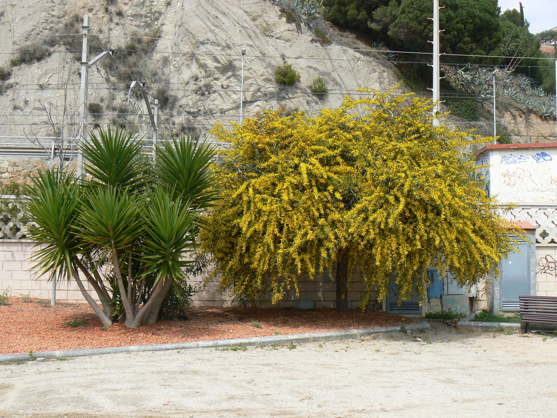 Foto playa El Cavaió / Tercera Playa. Mimosas en flor. Canet