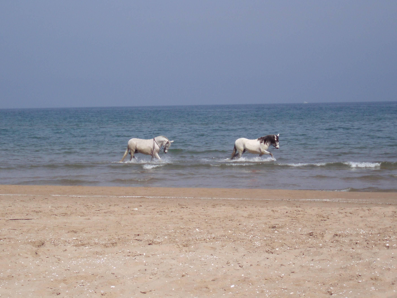 Foto playa Bellreguard. Caballos en la playa de Miramar
