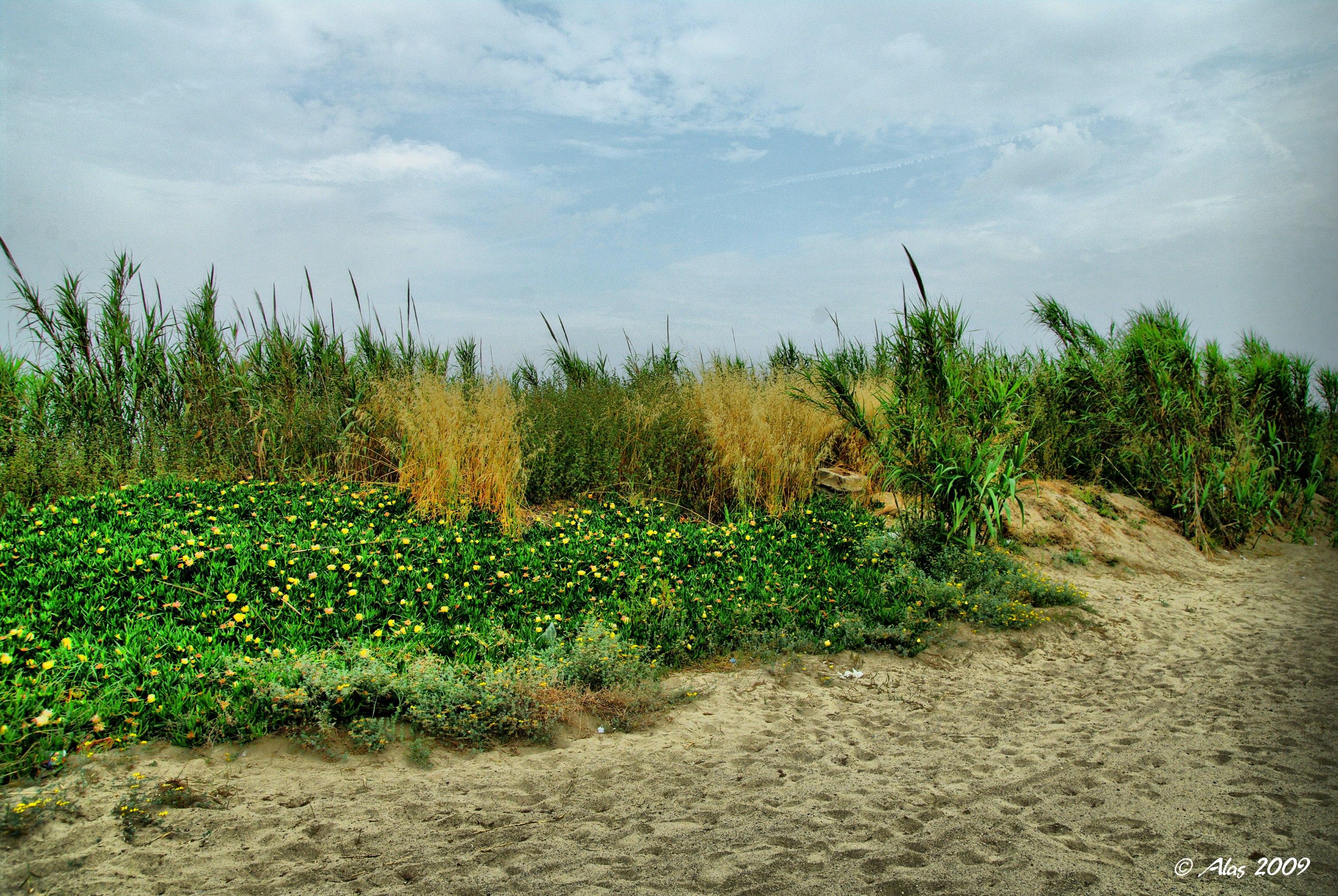 Foto playa Meliana. Vegetación de duna