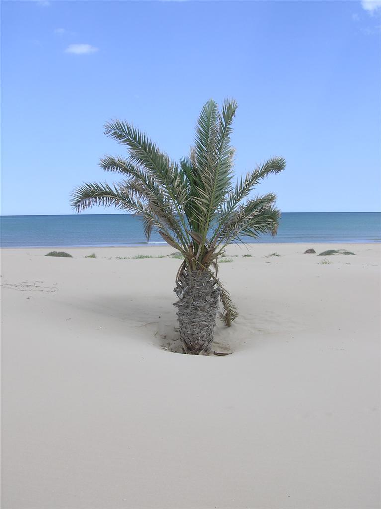 Foto playa Babilonia. Lonely palmtree