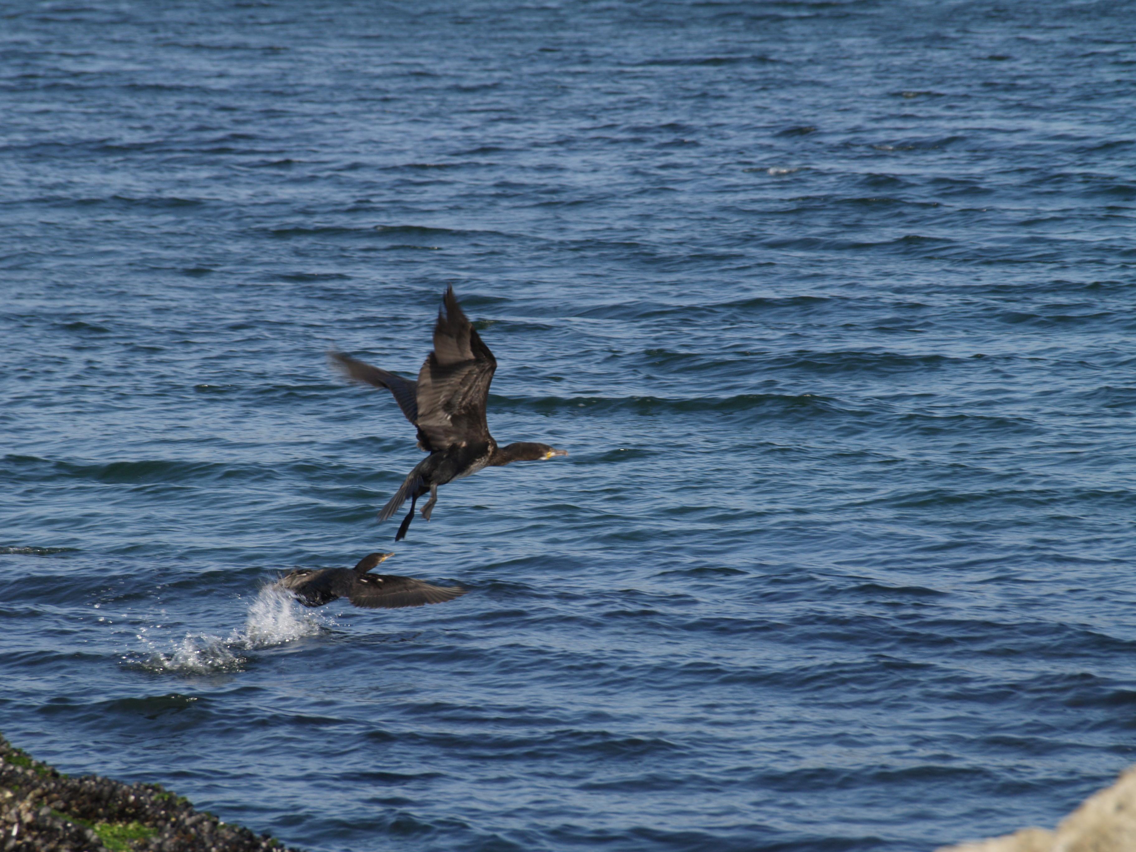 Foto playa Telleira. cormoranes