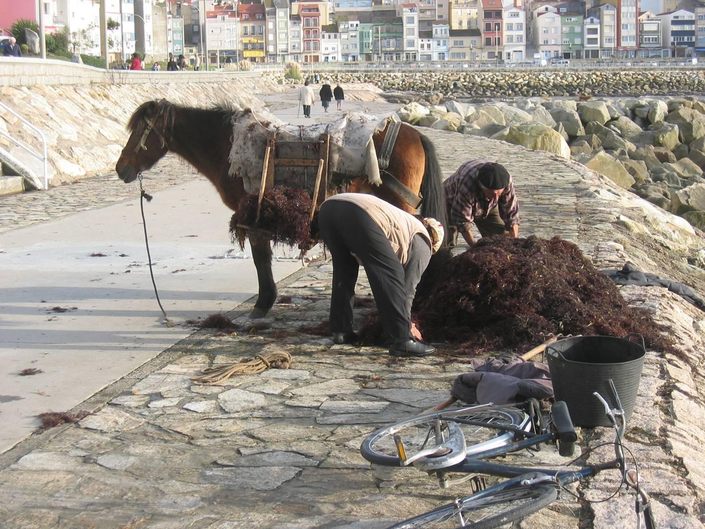 Foto playa Carreiro. Recogiendo algas en La Guardia (Pontevedra)